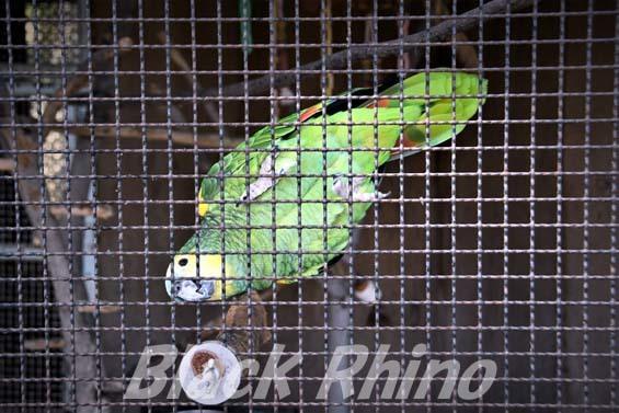 アオボウシインコ02 和歌山城公園動物園