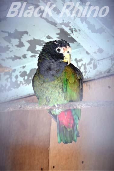アケボノインコモドキ01 和歌山城公園動物園