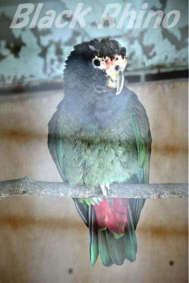 アケボノインコモドキ02 和歌山城公園動物園