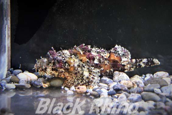 オニカサゴ01 桂浜水族館