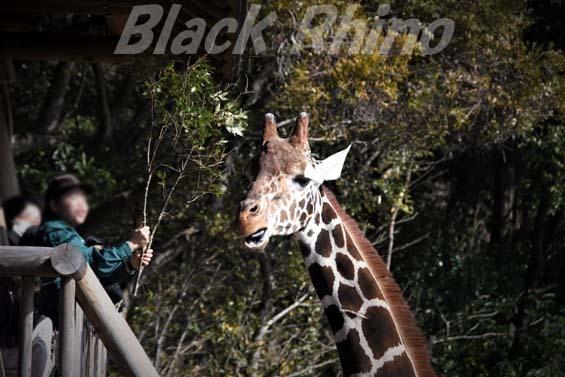 アミメキリン01 高知県立のいち動物公園