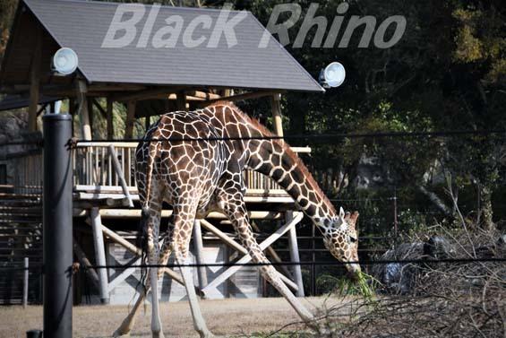 アミメキリン02 高知県立のいち動物公園