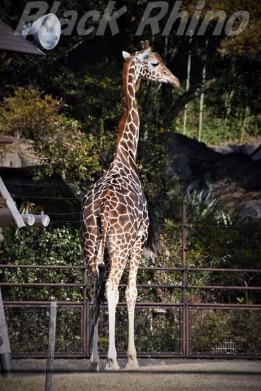 アミメキリン03 高知県立のいち動物公園
