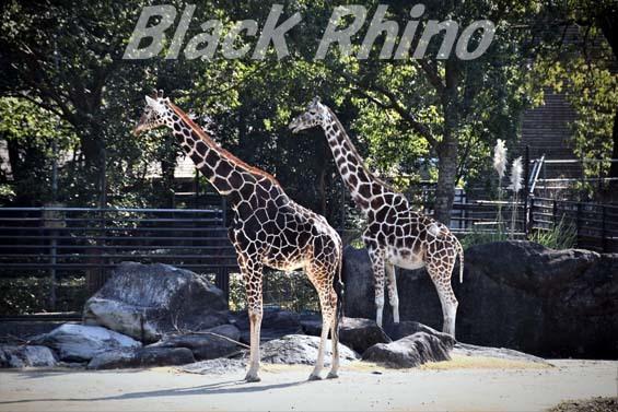 アミメキリン04 高知県立のいち動物公園