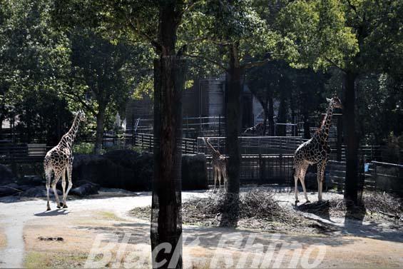 アミメキリン05 高知県立のいち動物公園