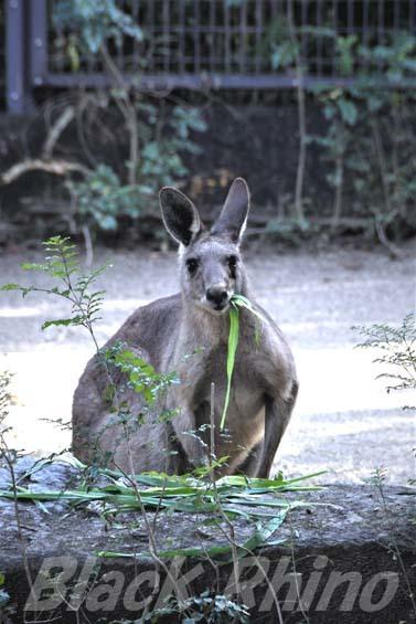 オオカンガルー01 高知県立のいち動物公園