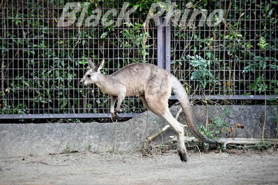 オオカンガルー02 高知県立のいち動物公園