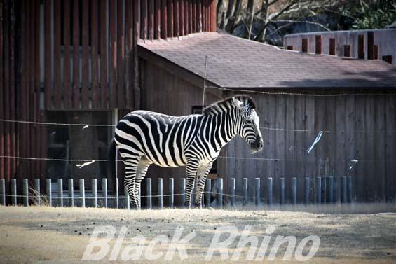 グラントシマウマ01 高知県立のいち動物公園