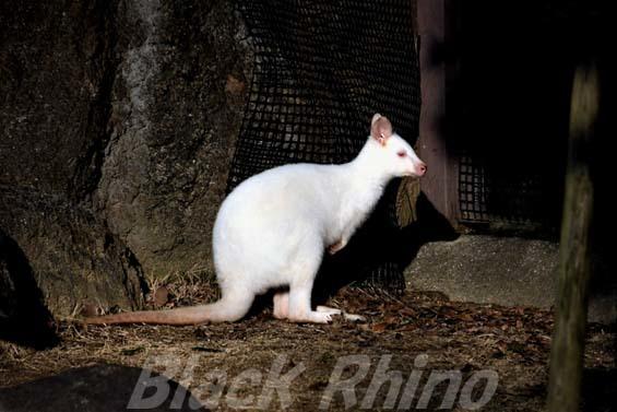 ベネットアカクビワラビー01 高知県立のいち動物公園