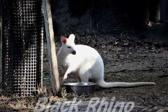ベネットアカクビワラビー02 高知県立のいち動物公園