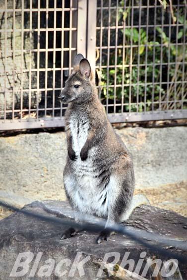 ベネットアカクビワラビー03 高知県立のいち動物公園