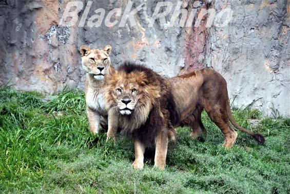 ライオン01 みさき公園