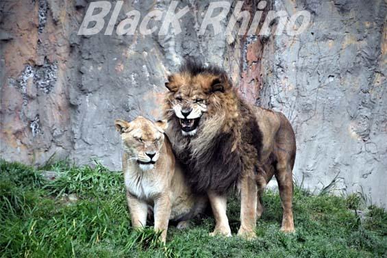 ライオン02 みさき公園