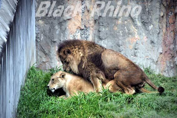 ライオン03 みさき公園