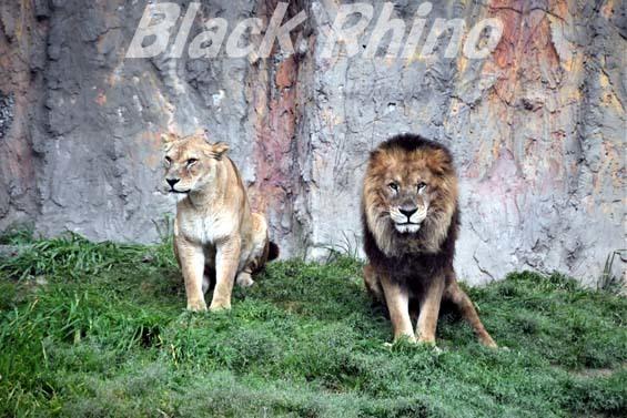 ライオン04 みさき公園