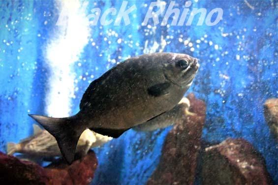 イスズミ01 越前松島水族館