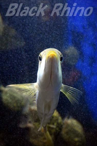 イトフエフキ01 越前松島水族館