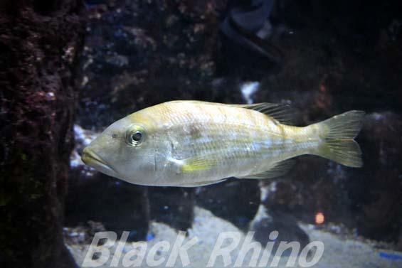 イトフエフキ02 越前松島水族館