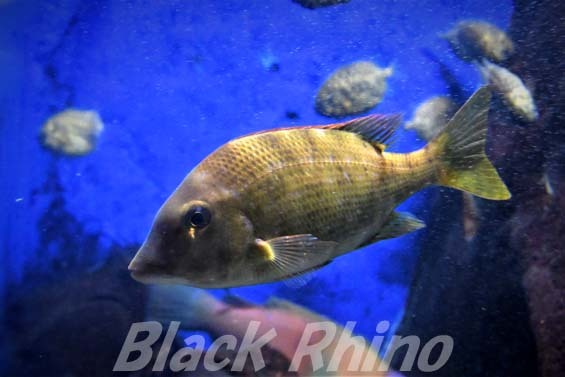 フエフキダイ01 越前松島水族館
