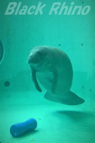 アメリカマナティー02 美ら海水族館