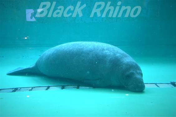 アメリカマナティー03 美ら海水族館