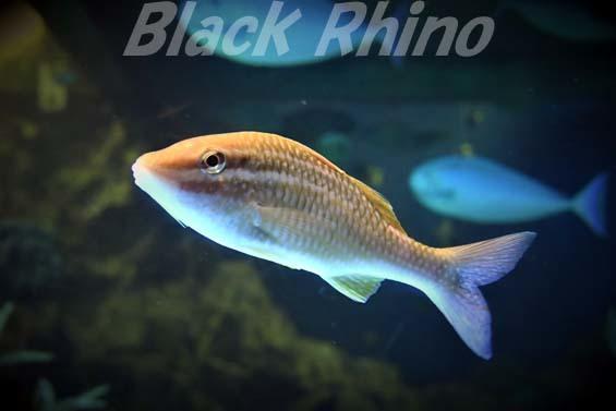 ホウライヒメジ01 越前松島水族館