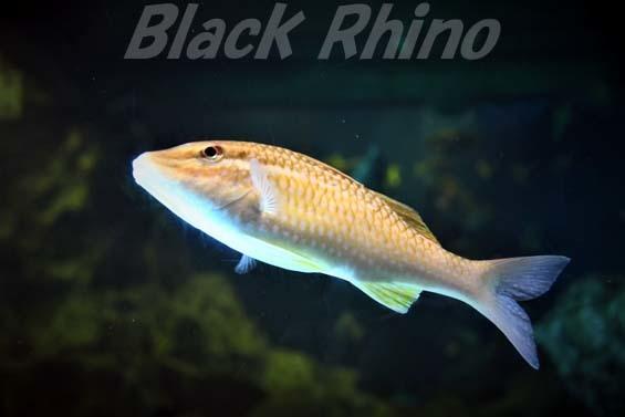ホウライヒメジ02 越前松島水族館