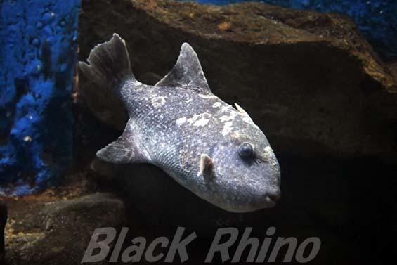 アミモンガラ01 越前松島水族館