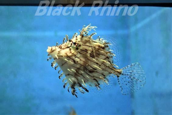 ヒゲハギ01 竹島水族館