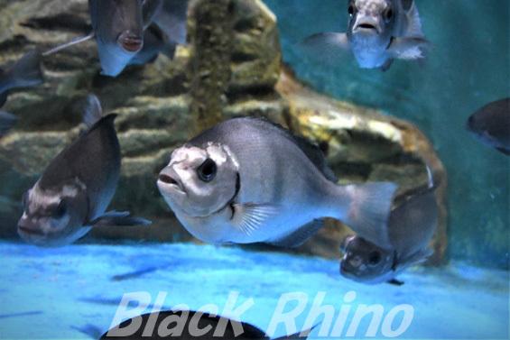 クロメジナ01 桂浜水族館