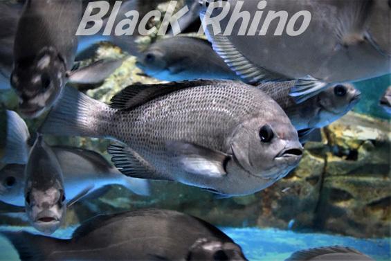 メジナ01 桂浜水族館