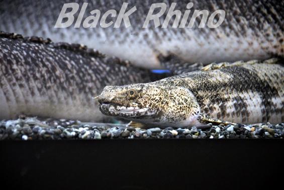 ポリプテルス・エンドリケリー01 越前松島水族館
