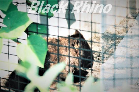 コモンウォンバット(ヒメウォンバット)01 旭山動物園
