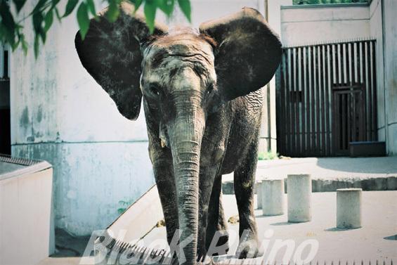 マルミミゾウ ナナ01 旭山動物園