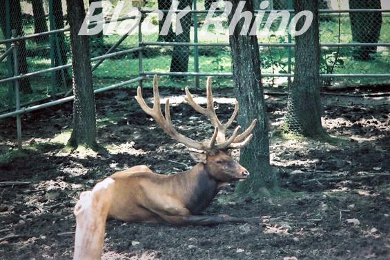 ワピチ01 旭山動物園