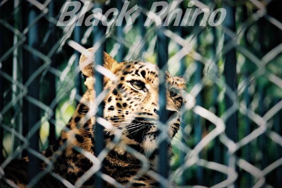 アムールヒョウ01 旭山動物園