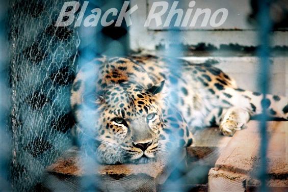 アムールヒョウ02 旭山動物園