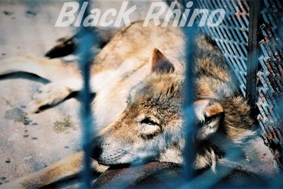 シンリンオオカミ?02 旭山動物園