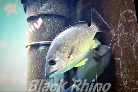 オキフエダイ01 箱根園水族館