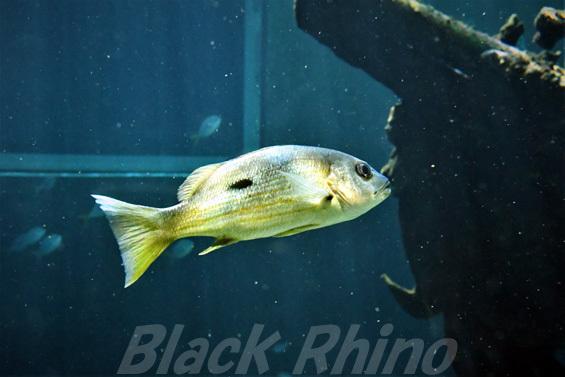 ニセクロホシフエダイ02 箱根園水族館