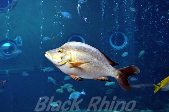 ヒメフエダイ01 箱根園水族館