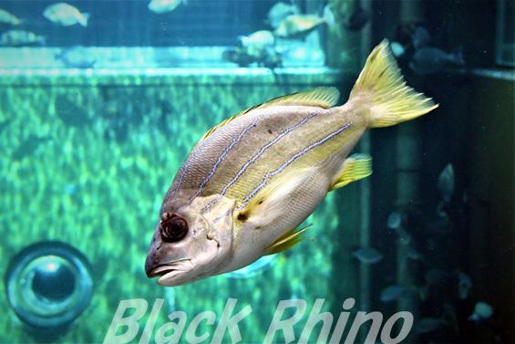 ヨスジフエダイ01 箱根園水族館