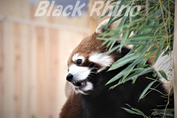 シセンレッサーパンダ01 豊橋総合動植物公園