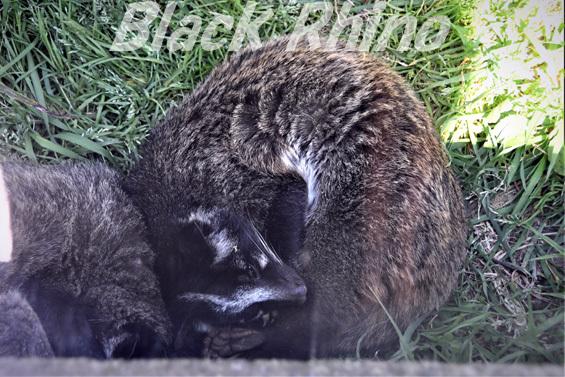 ハクビシン01 豊橋総合動植物公園