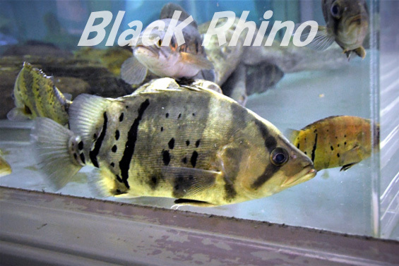 ダトニオプラスワン03 箱根園水族館
