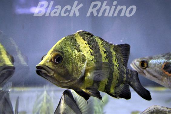 ニューギニアダトニオ01 箱根園水族館