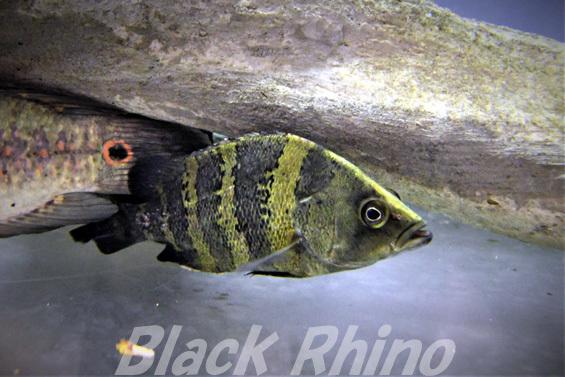 ニューギニアダトニオ02 箱根園水族館