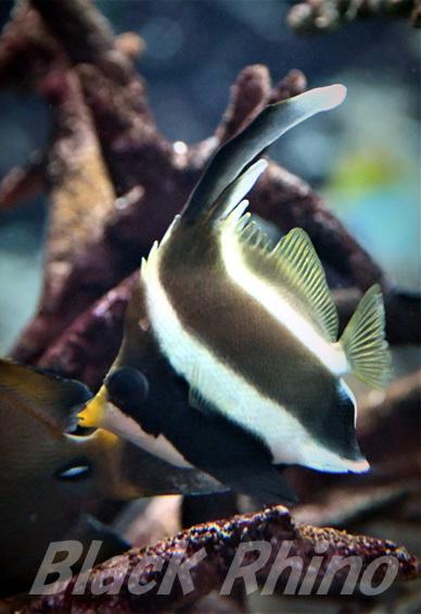 ミナミハタタテダイ02 いおワールドかごしま水族館