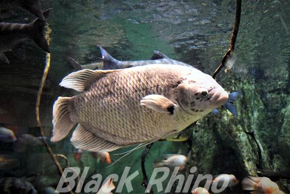 オスフロネームス、グラミー01 箱根園水族館