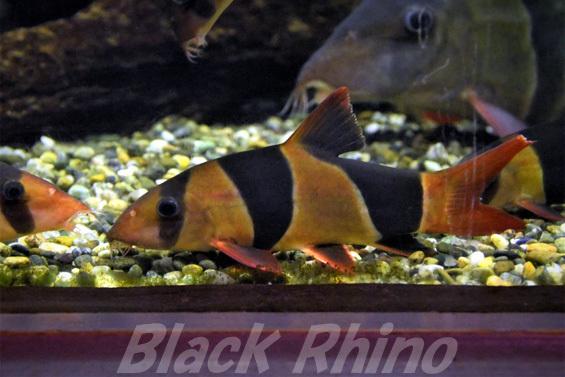 クラウンローチ01 箱根園水族館
